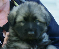 SHILOH SHEPHERD PUPPIES