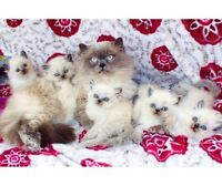 Last Himalayan Kittens Of The Year <3