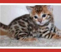 OUTSTANDING QUALITY LEOPARD  BENGAL  KITTENS