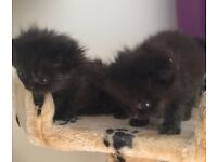 Chinchilla cross kittens