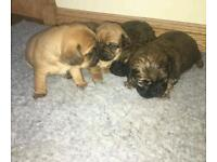 Pugalier puppies
