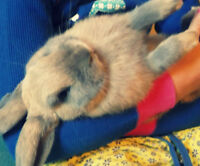 Beautiful 15mo old female Holland Lop bunny- AWESOME WITH KIDS!