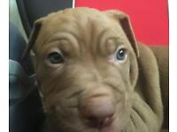 Bully X Staff puppies looking for forever HOME! Read description