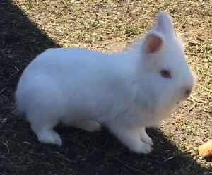 Young White Ruby-Eyed Lionhead Rabbit