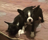 BOSTON TERRIER PUPS AVAIL JULY 28