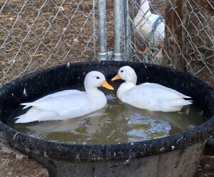 Pair of White Call Ducks and a Black Bibbed Male.