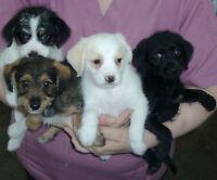 Chiot Croisé Terrier  Vaccinés Micropucés Carnet de Santé