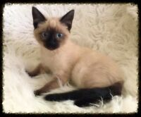 Stunning Bright Eyed Siamese Girl w/Shots - Will Deliver