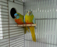 BEAUTIFUL TURQOISENE PARAKEETS