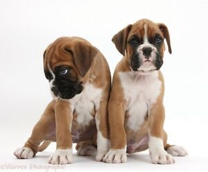 In search of a Boxer puppy for july/august!