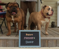 Cambulls Olde Buldogges is EXPECTING!