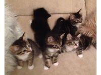 5 Beautiful 8 Week Old Kittens For Sale