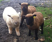 THREE MONTH OLD MINIATURE SHEEP FOR SALE