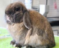 Beautiful Purebred Holland Lop