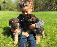 Gorgeous  Black and Tan German Shepherd Puppies