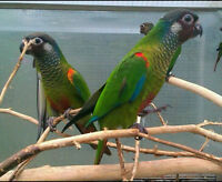 Looking for White Eared Conure females