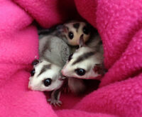 Young sugar glider trio