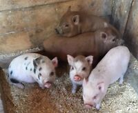 Mini pigs for sale. 8 weeks old. $200.ea