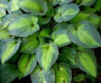 Free hosta wanted