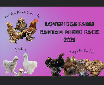 Bantam Mix Frizzle Duccle Silkie Cochin 5 Hatching Eggsrare Calico Npip