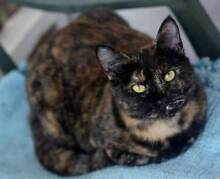 Gracie - KITTEN KAPERS RESCUE Birkdale Redland Area Preview