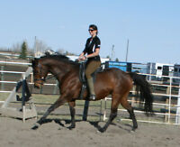 Reg. 16.1h bay Thoroughbred Mare 9yrs.old gentle + beautiful