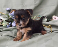 Shorkie Puppies - 2 girls and 1 boy