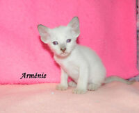 8 chatons SIAMOIS  lilas point et chocolat point