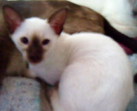 CHOCOLATE POINT SIAMESE KITTEN  CCA reg...READY NOW...MORELATER