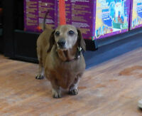 ***Adorable Thumper - DACHSHUND cross is available for adoption*