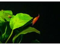 Red cherry shrimp (over 40 of them)