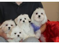 Beautiful MALTESE TERRIER puppies for sale