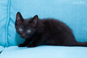 Lowri rescue KITTEN to adopt VET WORK INC Craigie Joondalup Area Preview