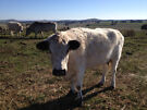 British White Cows & Heifers Smeaton Hepburn Area image 1