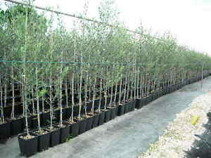 Pianta albero alberi di olivo innestata di 2 anni varietà da mensa piante sce...