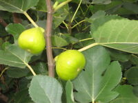 Fig Trees For Sale