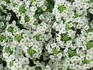 Lobularia maritima - Sweet Alyssum - 2500 Fresh Seeds