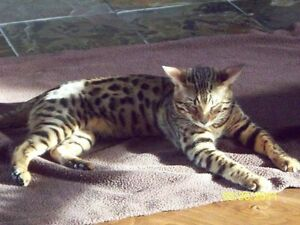 Bengal cat : reserved now your kitten Gatineau Ottawa / Gatineau Area image 2