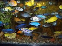 Wholesale Africian Cichlids SPRING SALE( FREE and 2for1 )