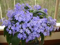 Streptocarpus house plants for sale