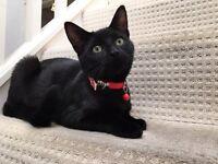 Black male kitten 8 months old