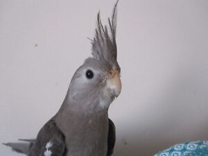 3 month old female cockatiel for sale
