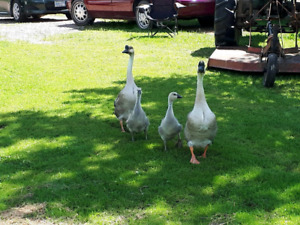 Chinese geese for sale