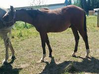 Yearling quarterhorse/arabian gelding