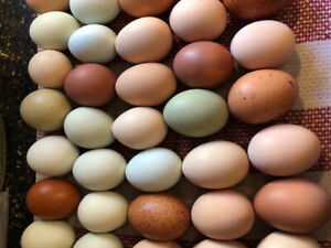 Hatching eggs available
