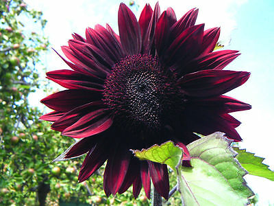 Chocolate Cherry Sunflower 15 Seeds Many flowers on each plant! Comb.S/H