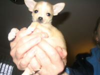 I AM LOOKING TO BUY A PUPPY  ( Chihuahua)