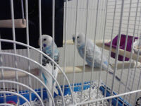 Two blue and weight budgies for sale