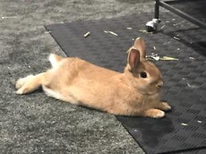 Netherlands Dwarf Cross Bunny
