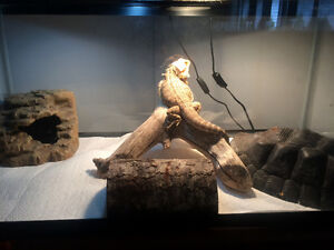 Bearded dragon with tank, lights and tank furniture